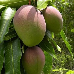 kent-mangoes-500